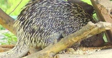 حيوان النيص البرازيلي: جميل ومهدد