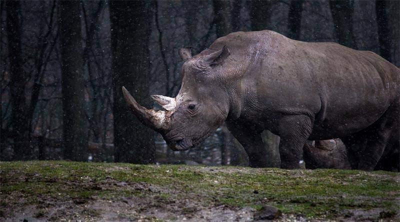 خصائص وحيد القرن الجاوي