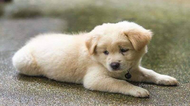 كيفية وضع مقياس الحرارة على الكلب ؟