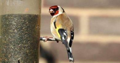 نصائح لرعاية طائر الحسون