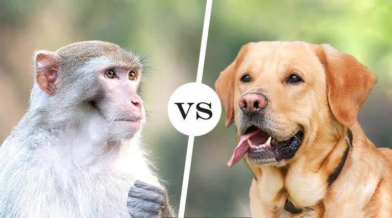 من هو الأذكى؟ الكلب أم الشمبانزي