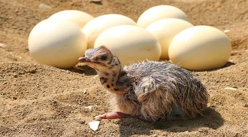 تعرف على أكبر بيض طائر في مملكة الحيوان
