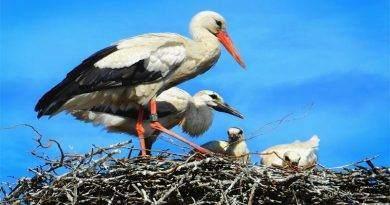 تعرف على النظام الغذائي وسلوك طيور اللقلق
