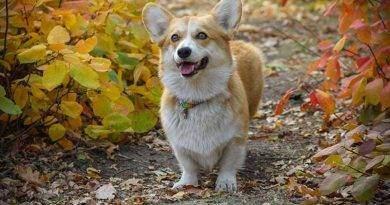 سلالات الكلاب قصيرة الأرجل