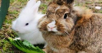كم عدد أنواع الأرانب الداجنة؟