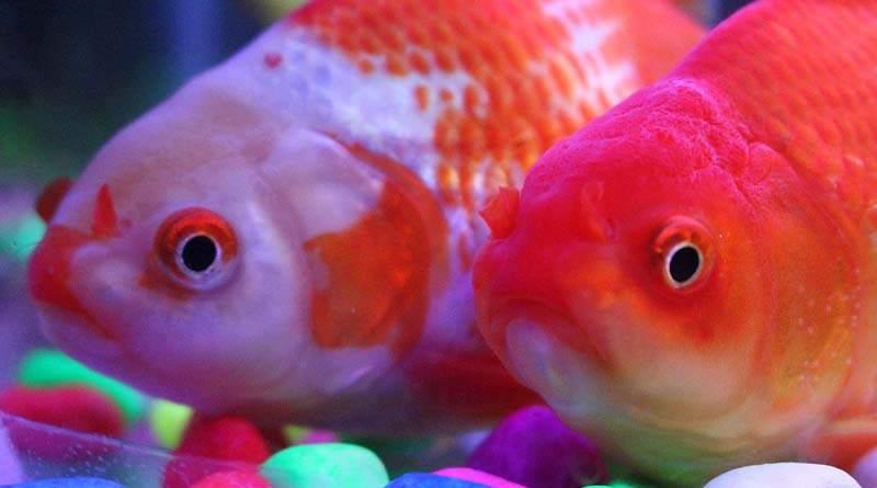 ماهي السمكة الذهبية وكيفية رعايتها
