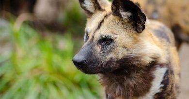 ماهو حيوان الكلب البري أفريقي