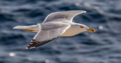 لماذا نسمي النوارس بطيور البحر؟