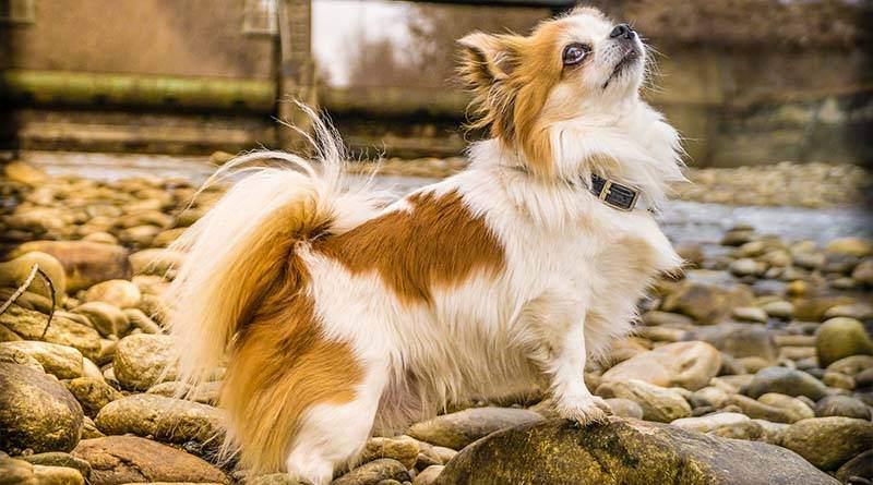 كلب شيواوا ، كل ما تحتاج لمعرفته حول سلالة الكلاب المحبوبة هذه