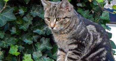 قط سوكوكي ، قطة أفريقية