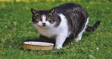 ماذا تفعل إذا توقفت قطتك عن الأكل؟