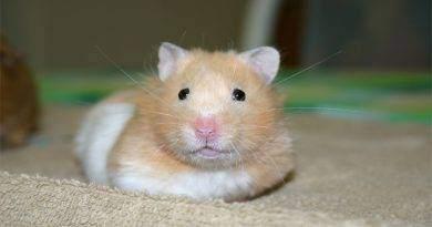 ما الذي يسبب الإجهاد لحيوان الهامستر؟