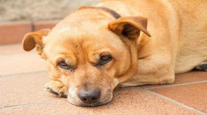 ما هي أعراض الحمى عند الكلاب؟