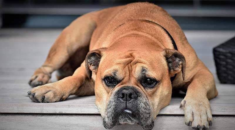 أمراض الكلاب