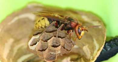 ما دور ملكة النحل