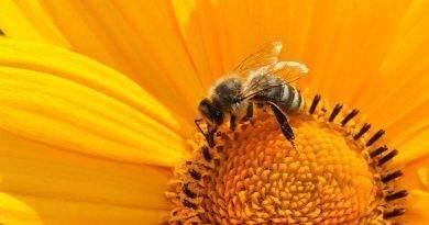 كم تعيش النحلة