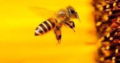 الفرق بين النحلة والدبور