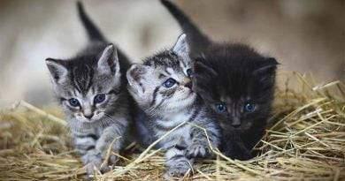 كم تلد القطة