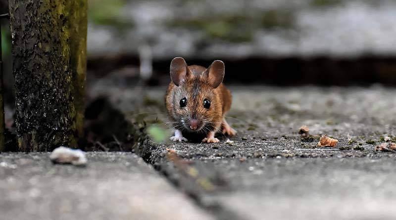 ما يجب ان تعرف كم يوم يعيش الفأر بدون طعام