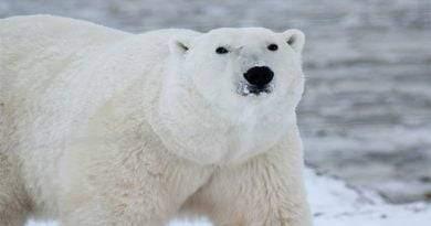 اكتشف كل شيء عن حياة الدب القطبي