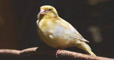 لماذا الاستحمام مهم لطيور الكناري