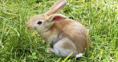 مدة حمل الأرنب