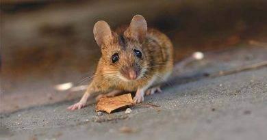 اسرع حل لطرد الفئران من المنزل