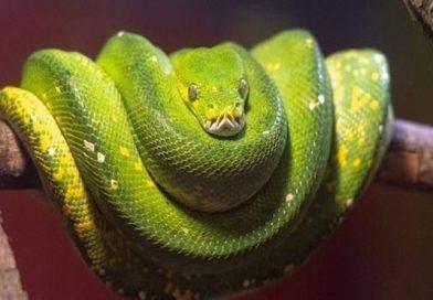 الأناكوندا الخضراء