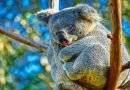 حيوان الكوالا والنوم !