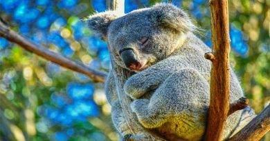 الكوالا والنوم