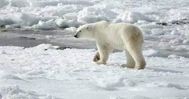 ماذا يأكل الدب القطبي