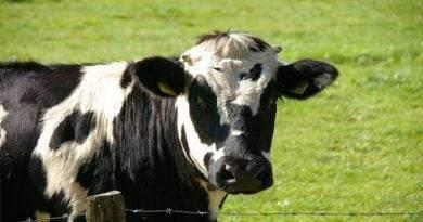 هل صحيح أن الأبقار لها أربع معدة؟