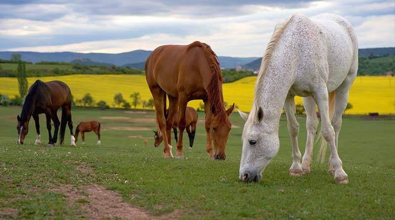 ما هو الحصان (الخيل)؟ صفاته ماذا يأكل واين يعيش