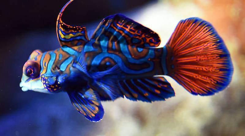 سمك ماندارين احد أجمل أسماك الزينة في العالم