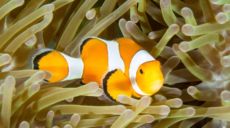 سمك المهرج احد أجمل أسماك الزينة في العالم