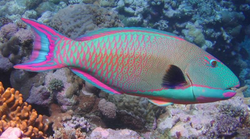 سمك الببغائية احد أجمل أسماك الزينة في العالم