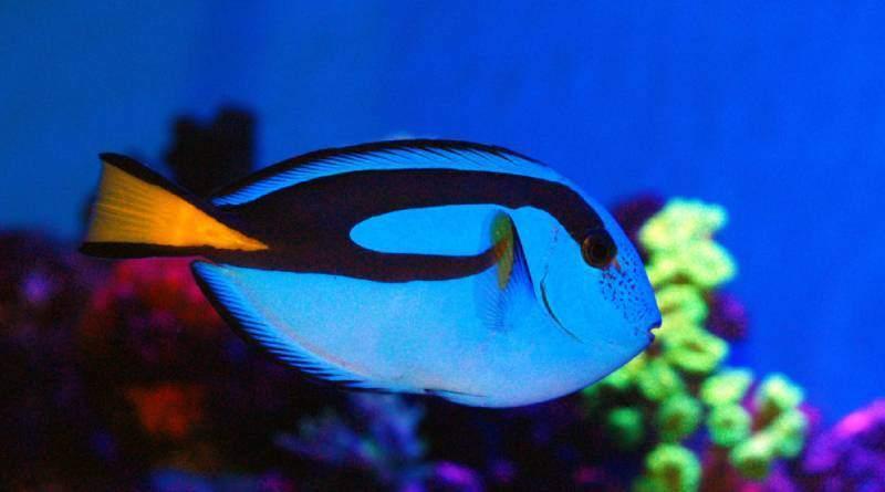 سمك الهيبو تانج احد أجمل أسماك الزينة في العالم