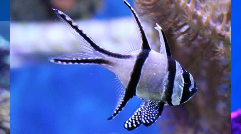 سمك كاردينال بانجاي