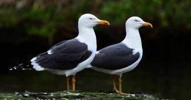 طائر النورس، ماذا يأكل وأين يعيش