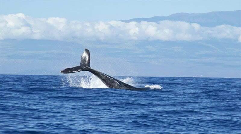 الحوت الأحدب موطنه وخصائصه وسلوكه
