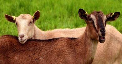 الفرق بين الماعز والغنم