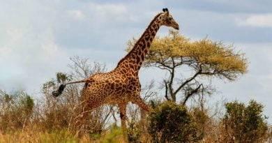لماذا الزرافة من الحيوانات المهددة بالانقراض