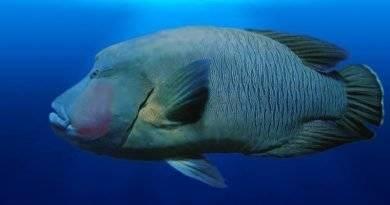 لماذا سمك طرباني من الأنواع المهددة بالانقراض