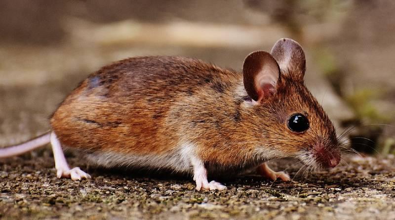 ماذا يأكل الفأر؟ هل تحب الفئران الجبن؟ اكتشف !!