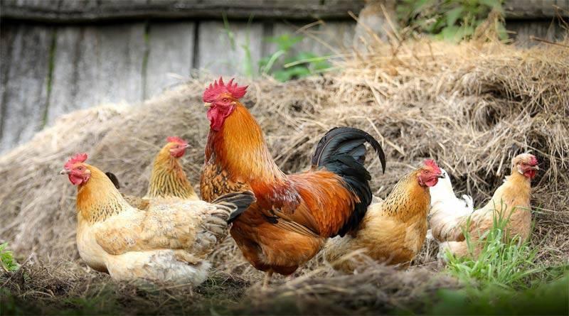 ماذا تعرف عن سلوك الدجاج ؟