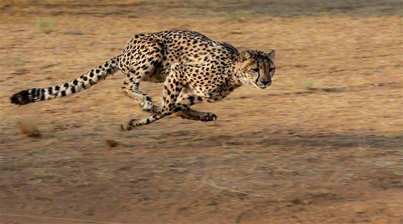 هل تعرف ما هي سرعة الفهد القصوى ؟