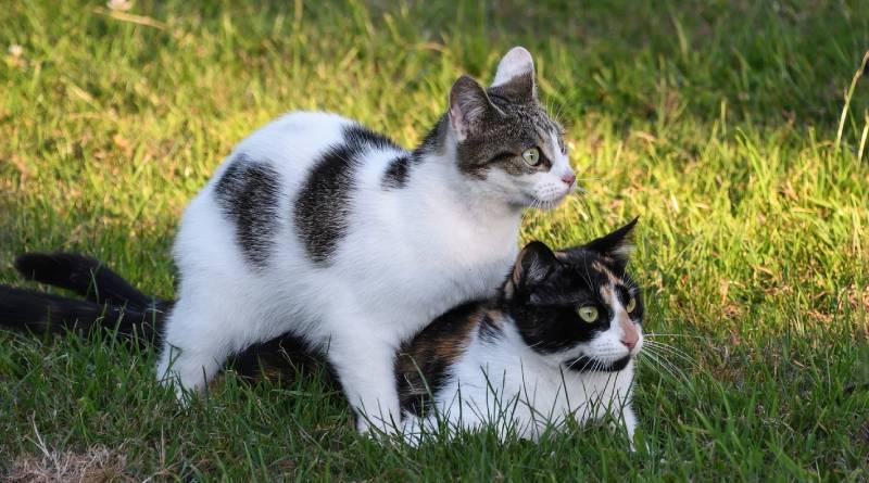 لماذا تصدر القطط صوت غريب عند التزاوج